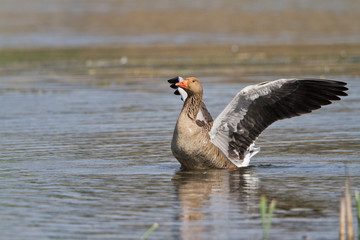Greylag goose wing flapping on a lake