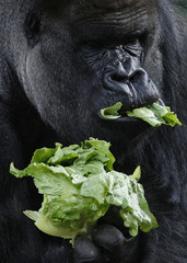Western Lowland silverback gorilla Kibabu eats lettuce during a photo opportunityat Taronga Zoo in Sydney