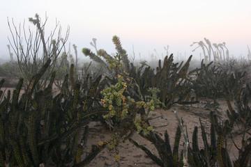 Cacti in morning mist, Sonora Desert, Baja California Sur, Mexico
