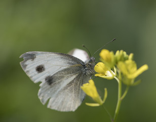 Indian Large White Butterfly