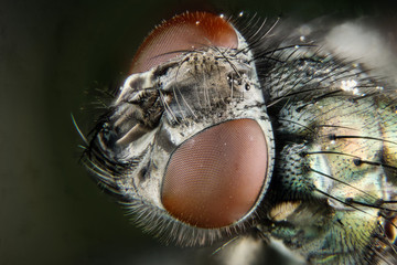 Macro Focus Stacking - Fly, Flies