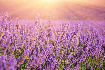 Sunny lavender field in Provence, Plateau de Valensole, France. Selective focus