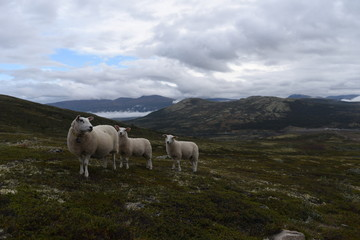 Sheep Lamb Dovre Norway