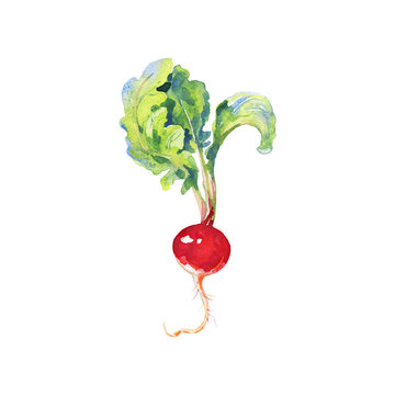 Hand drawn radish with top. Watercolor isolated fresh spring vegetable. Painting vegetarian illustration on white background