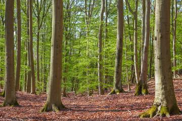 Buchenwald Grumsiner Forst im Frühjahr