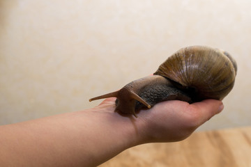 African Achatina snail in hand
