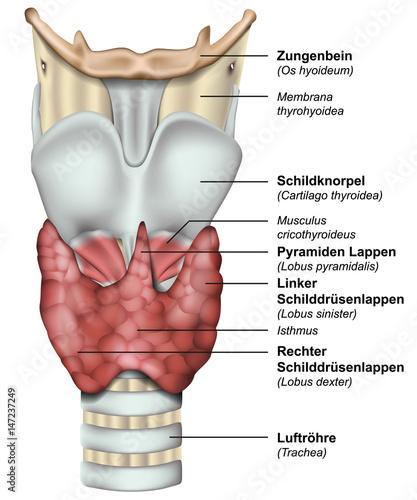 Anatomie der Schilddrüse mit deutsch lateinischer Beschreibung ...