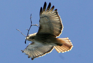 Red-tailed Hawk carries twig as it circles near 5th Avenue apartment building.