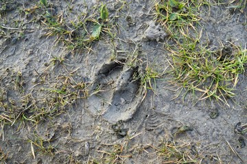 Deer footprint in the mud. Slovakia