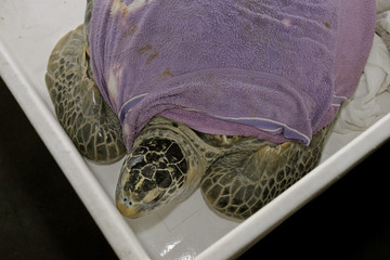 A green sea turtle sits in a plastic bin with a wet towel over his shell as he is returned to his tank in the Aquarium of the Americas in New Orleans
