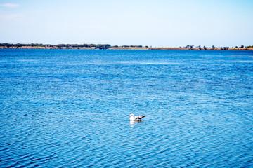 Mouette sur la lagune d'Orbetello en Toscane