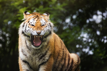 Siberian tiger bares teeth as a sign of aggresion.