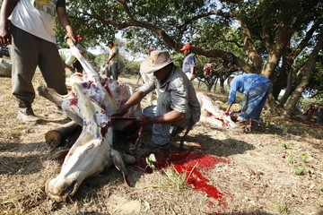 Venezuelan cowboys knife a cow before cooking it to celebrate the take over of the Hato el Frio farm