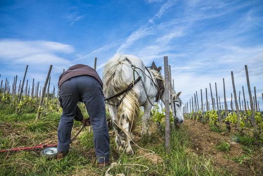 vigneron avec cheval et charrue