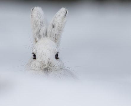 Alaskan Hare