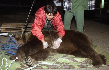 A DOCTOR CHECKS A BROWN BEAR NEAR BELITSA.