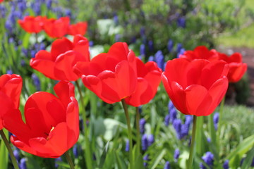 Beautifully blooming red tulips in a garden