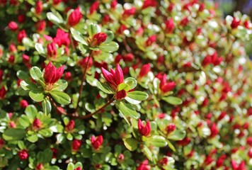 Red azalea buds start to bloom in warm weather