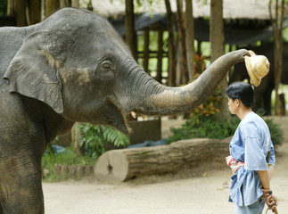 AN ELEPHANT PLACES A HAT ON THE HEAD OF ITS HANDLER IN LAMPANG.