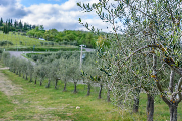An olive tree branch with a road in background near the town of Radda in Chianti
