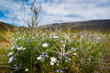 Tangled desert wildflowers during the spring super bloom at Anza-Borrego State Desert Park.