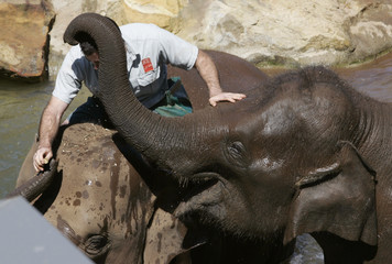 Asian Elephant Tang Mo wraps her trunk around the head of keeper Ben Britton at Taronga Zoo in Sydney