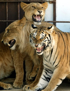 Female tiger Dima (R) and male lions Kaser (L) and Antar roar at Jordan's  Zoo near Amman July 13, 2..