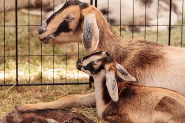 Miniature Nigerian Dwarf Goats  Tanglewood Farm Miniatures