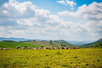 Moutons et Paysage du val d'Orcia en Toscane