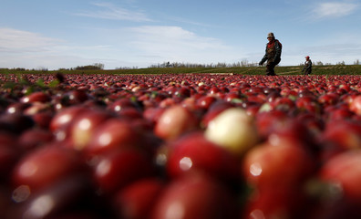 Workers harvest cranberries at the Atoka farm in Manseau