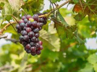 grapes yard