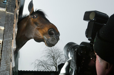Champion hurdler 'Best Mate' looks out from his stables near Wantage in Oxfordshire southern England.