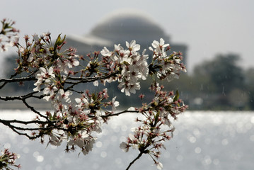Snow falls from lingering cherry blossoms with the Jefferson Memorial in the background after a rare April snowfall hit the nation's capital in Washington