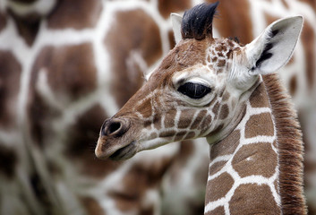 New born giraffe Jimmy stands in front of his mother Kabonga at Munich zoo