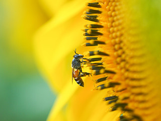 Sunflower with Humble Bee