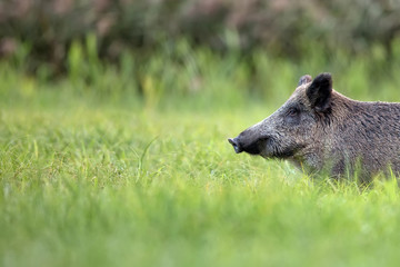 Wild boar in the grass, a portrait