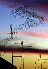 FLOCK OF STARLINGS FORM ABSTRACT PATTERNS ABOVE ROME'S ROOF TOPS.
