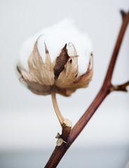 Cotton dried plant
