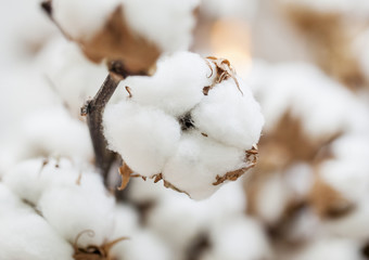 Cotton dried plant