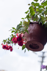 Fucsia flower in hanging pot