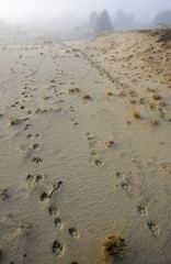 Wolves' footprints are seen in a forest during a foggy morning near the abandoned village of Borshchevka