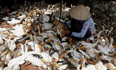 A woman inspects a duck at a wholesale poultry market in Hatay province, outside Hanoi