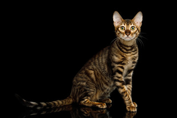 Toyger Cat Sitting on isolated Black Background, side view