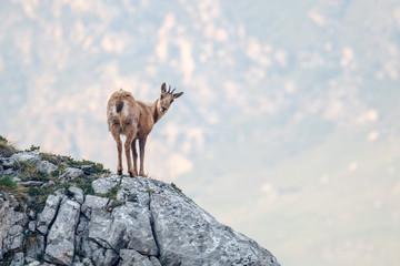 Rupicapra rupicapra. Rebeco en la montaña. Parque Natural de Somiedo, Asturias.