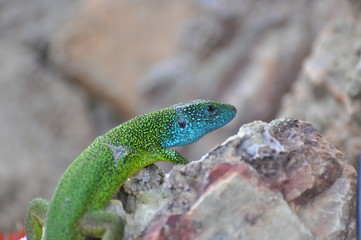 Green european lizard in nature. Green Lizard (Lacerta viridis) in natural habitat