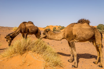 Wall Mural - Wild camels in nature of Erg Chebbi area - Morocco