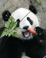 The National Zoo's baby panda Tai Shan munches on a carrot in the Giant Panda Habitat in Washington