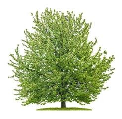Großer Kirschbaum vor einem weißen Hintergrund