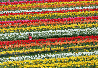 Small child walks through sea of colourful tulips in Kashiwa, east of Tokyo