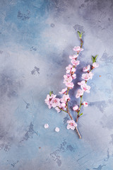 fresh pink cherry blossom twigs on gray and blue background